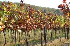 Viñedos en el campo con las hojas coloreadas en otoño Foto de archivo libre de regalías