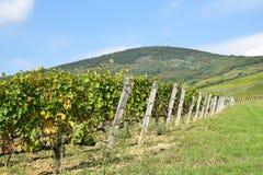 Viñedos en el lado de la colina, Tokaj Fotografía de archivo