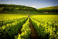 Viñedos en los les Beaune de Savigny, cerca de Beaune, Borgoña, Francia fotografía de archivo libre de regalías