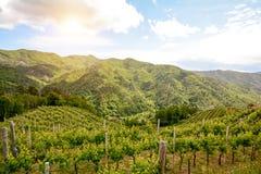 Viñedos montañosos con las uvas de vino rojo en comienzo del verano en Italia Imágenes de archivo libres de regalías