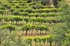 Viñedos orgánicos en Toscana, Italia Imágenes de archivo libres de regalías