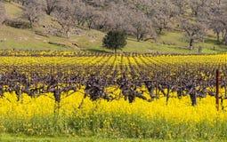 Viñedos y mostaza de Napa Valley en primavera Imagenes de archivo