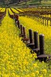 Viñedos y mostaza de Napa Valley en primavera Imágenes de archivo libres de regalías