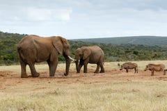 Vi önskar INGET vatten - den afrikanska Bush elefanten Arkivfoton