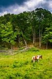 在一片农田的马在农村波托马克高地西部vi 免版税库存图片