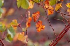 Vi?edo del oto?o Foco suave Hojas amarillas del otoño de uvas foto de archivo libre de regalías