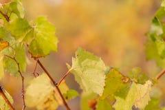 Vi?edo del oto?o Hojas de oto?o de uvas Vid en la caída Foco suave imagenes de archivo