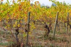 Vi?edo en oto?o Los polos de madera con el alambre de metal estirado apoyan el vi?edo Hierba seca y hojas amarillas fotografía de archivo