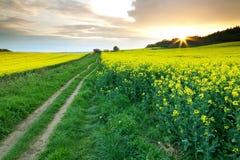 Via attraverso i giacimenti del seme di ravizzone Immagine Stock Libera da Diritti