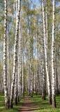 Via della primavera nella foresta soleggiata della betulla di sera Immagini Stock