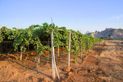 Via della vigna dell'uva con la collina della montagna Immagini Stock Libere da Diritti