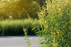 Via di primo mattino del fiore di Crotalaria Immagini Stock Libere da Diritti
