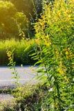 Via di primo mattino del fiore di Crotalaria Fotografia Stock Libera da Diritti