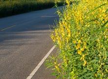 Via di primo mattino del fiore di Crotalaria Fotografia Stock