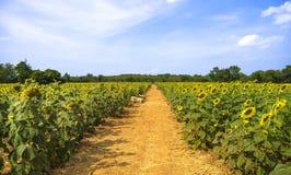 Via nella coltivazione del girasole Fotografia Stock Libera da Diritti