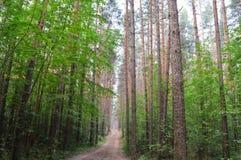 Via nella foresta del pino Fotografia Stock Libera da Diritti