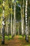 Via nella foresta soleggiata della betulla di autunno Fotografie Stock