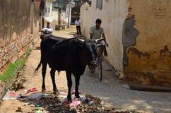 Via-vita con la mucca ed i rifiuti, Mandawa, Rajasth Fotografia Stock