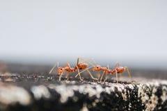 A viagem das duas formigas fotos de stock royalty free