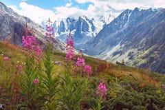 Viagem a pé através dos vales da montanha Beleza dos animais selvagens Altai, a estrada aos lagos Shavlinsky, Rússia Picos de nev Fotos de Stock