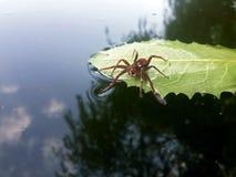 Viaggiatore del ragno rosso con goccia di acqua sulla foglia verde al LAK Immagini Stock Libere da Diritti