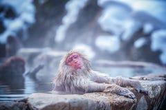 viaggio Asia Scimmia rosso--cheeked Durante l'inverno, potete vedere che le scimmie che si inzuppano in una sorgente di acqua cal fotografie stock libere da diritti