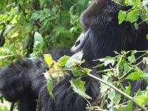 Viaggio della gorilla Fotografia Stock