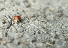 Viaggio di Ladybird Immagine Stock