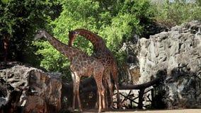 Viaggio di riserva Asia orientale di vacanze estive della giraffa 1920x1080 1080p Tailandia di Animais Selvagens della videoripre stock footage