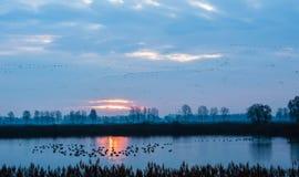 Viaggio migratore degli uccelli Fotografie Stock Libere da Diritti