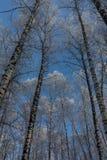 Viaje al cuento de hadas Arboleda del abedul debajo de la nieve El ártico El sol septentrional frío está sobre el horizonte Foto de archivo libre de regalías