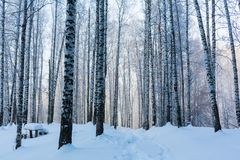 Viaje al cuento de hadas Arboleda del abedul debajo de la nieve El ártico El sol septentrional frío está sobre el horizonte Fotografía de archivo libre de regalías