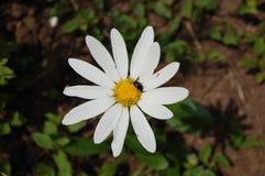 Viaje alrededor de la manzanilla Escarabajo en el medio de la manzanilla floreciente Fotos de archivo