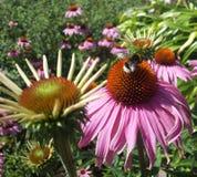 Viaje de la abeja del manosear Fotos de archivo libres de regalías