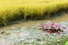 Viaje del delta del Mekong, campo del arroz, flor del lirio de agua imágenes de archivo libres de regalías