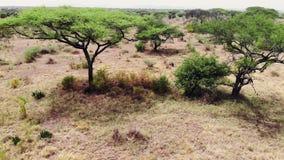 Viaje del safari a trav?s de la sabana africana Paisaje a?reo del prado de la sabana del desierto de la cantidad en Serengeti metrajes
