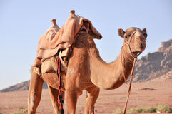 Viaje en camello Imagen de archivo libre de regalías