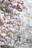 Viaje: Flor de la magnolia en París Francia fotos de archivo