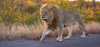 Viajero del león Fotografía de archivo