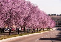 Viale con gli alberi di fioritura immagini stock