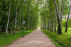 Viale degli alberi di betulla Fotografie Stock Libere da Diritti