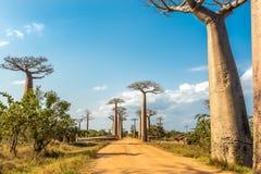 Viale dei baobab Immagini Stock Libere da Diritti