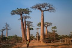 Viale dei baobab, Morondava, regione di Menabe, Madagascar fotografia stock libera da diritti