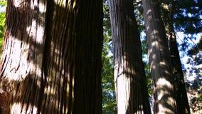 Viale del cedro di Suginami; Suginami Cedar Avenue a Nikko archivi video