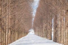 Viale dell'albero della sequoia di alba con neve Immagini Stock