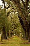 Viale dell'albero di quercia Immagini Stock