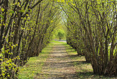 Viale dell'albero nocciola in molla in anticipo Fotografie Stock