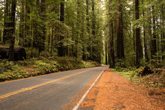 Viale della sequoia Fotografie Stock