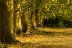Viale di vecchi alberi di quercia in ultimo del sole di estate Fotografia Stock