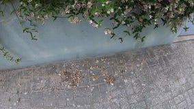 Viana do Castelo, Portugal - 24 de julho de 2019: Feche acima das flores cor-de-rosa Flores cor-de-rosa pequenas Bush de floresc? filme